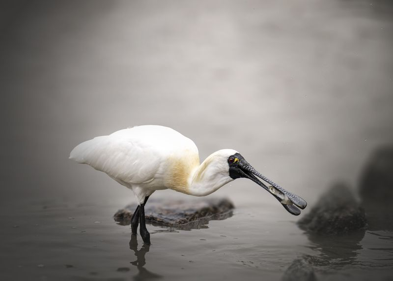 birds, wildlife, spoonbill, nature Yummy-yumphoto preview