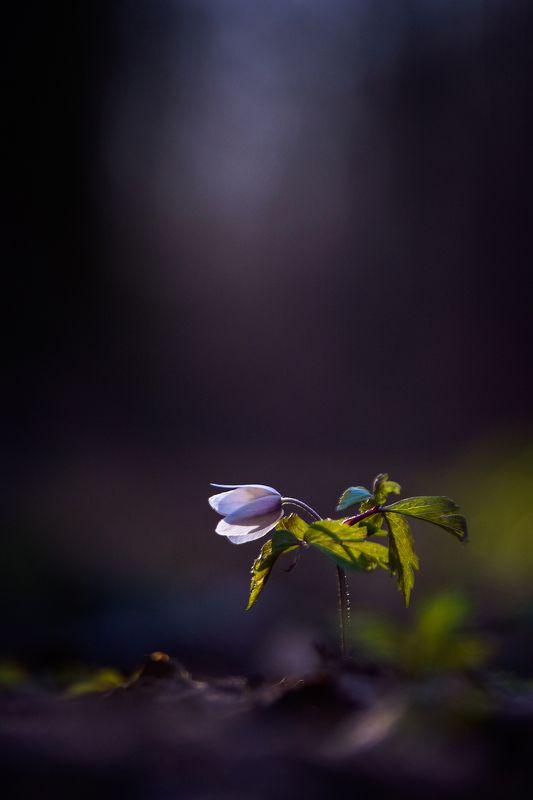 макро, нежность, тайна, таинственный лес, макро истории, цветы, цветок, ветренница, вчувствование, лес, тишина, forest, macro story, forest, nature, silence, macro, flowers, spring \