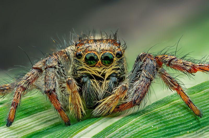 паук, скакунчик, макро, стекинг, сад, лето, природа Скакунчикphoto preview