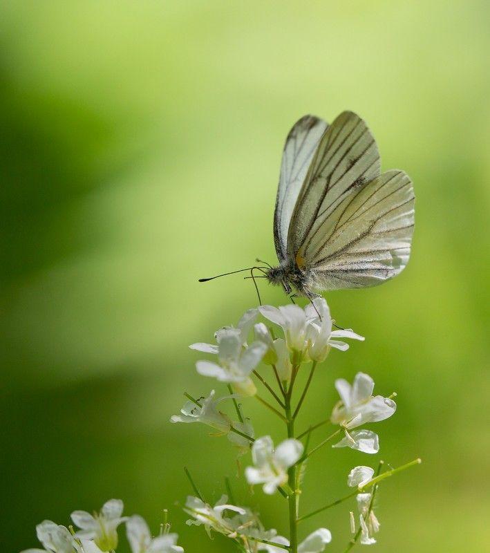 бабочка белянка май Просто белянка фото превью