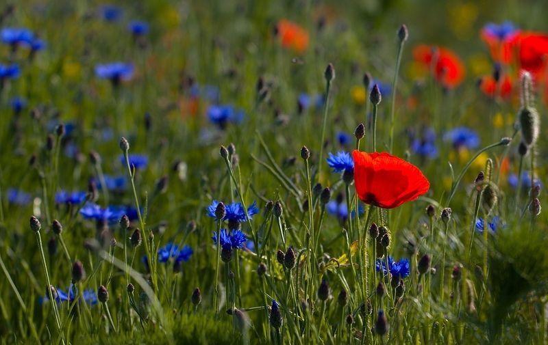 Flowering meadow in Moravian Slovakiaphoto preview