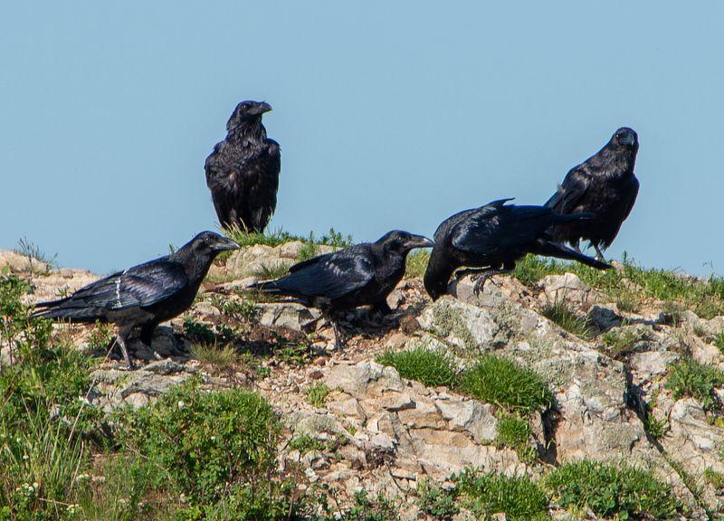вороны, горные,бештау,птицы, природа Собрание  вороновphoto preview