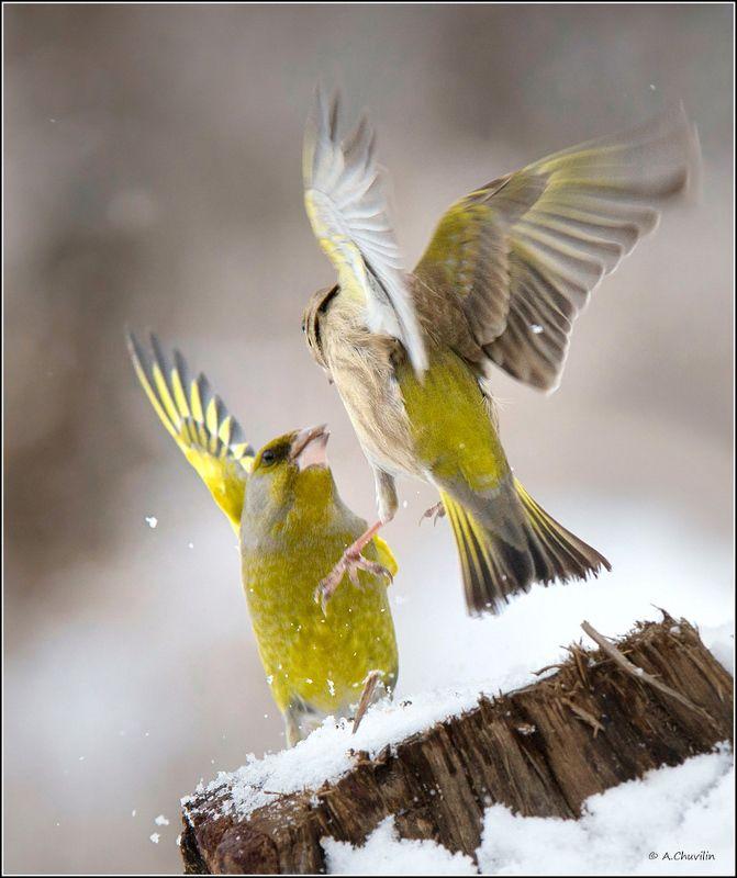 птицы,зеленушки,забияки Забиякиphoto preview
