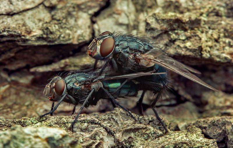макро, муха, насекомые, макрофото, макромир, Веснаphoto preview