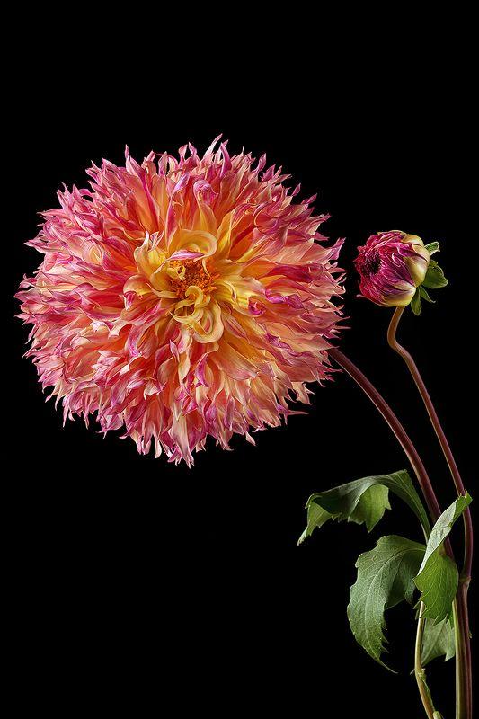 георгин, цветы, цветок, флора, природа, лепестки, цвет, черный фон, розовый Георгинphoto preview