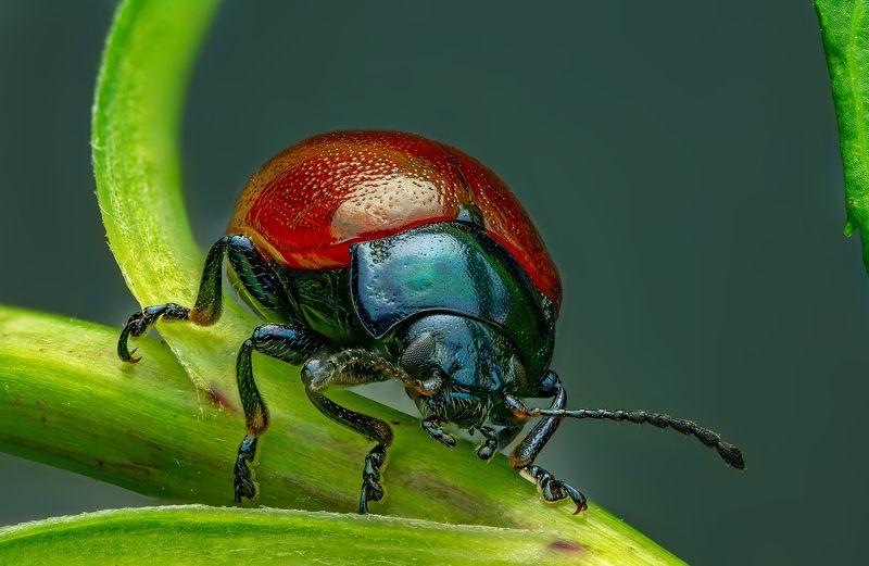 листоед, макро, макрофото, природа, насекомые, лето, сад, огород Листоед на привалеphoto preview