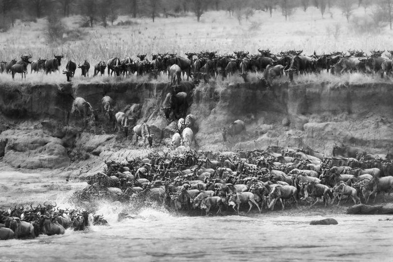 mara, great migration, antelope, safari, tanzania, kenia, africa, serengeti Great Migration of antelopes. Mara river crossingphoto preview