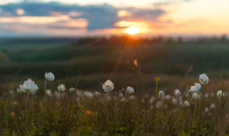 ветреница, весна, первоцветы, цветы, flowers, primulas, yellow anemone, пейзаж, закат Ветреничный закатphoto preview