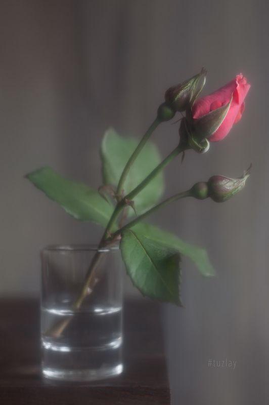 розы Продолжая \
