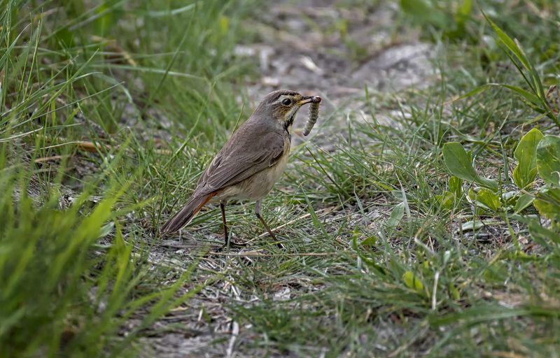 птица, варакушка, охота Варакушки на охоте.. (самка, самец)photo preview