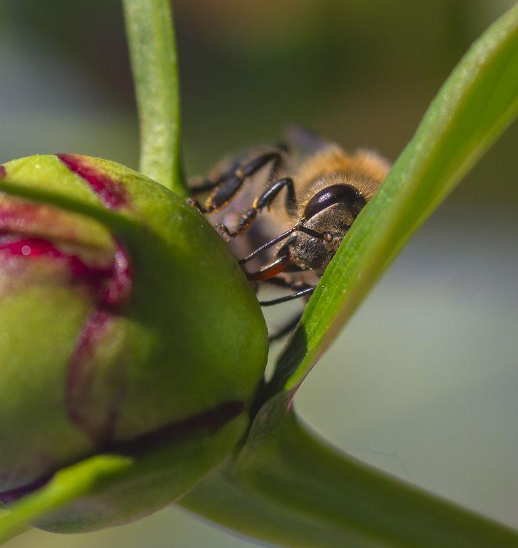 макро, природа, насекомые, пчелы, лето Спряталасьphoto preview