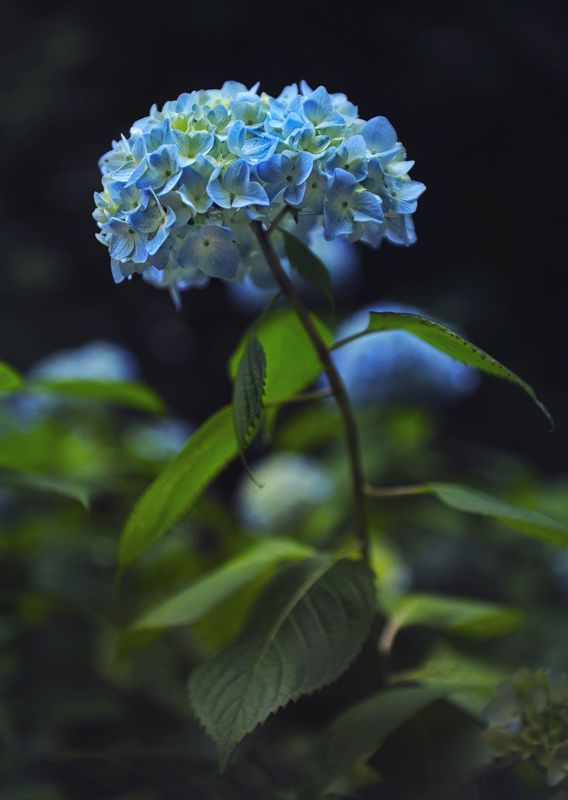 Japanese hydrangeaphoto preview