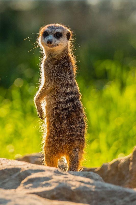 zoo, animals, nature, summer, safari park dvůr králové, meerkat, зоопарк, животные, сурикат, лето, Сурикатphoto preview