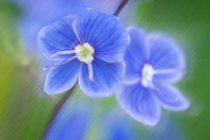 blooms,цветение, цветок, вероника, veronica, veronicachamaedrys, flower, макро,macro Луговое очарованиеphoto preview