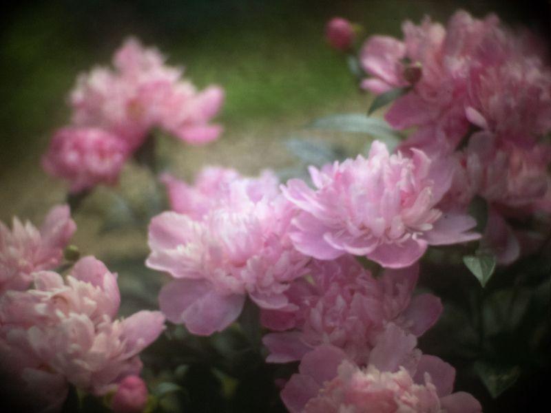 Пиона терпкий аромат...photo preview