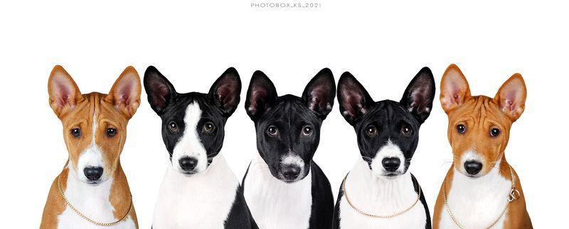 собака, анималистика, студия, портрет Басенджиphoto preview