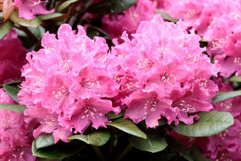 рододендрон, природа, цветы Рододендронphoto preview