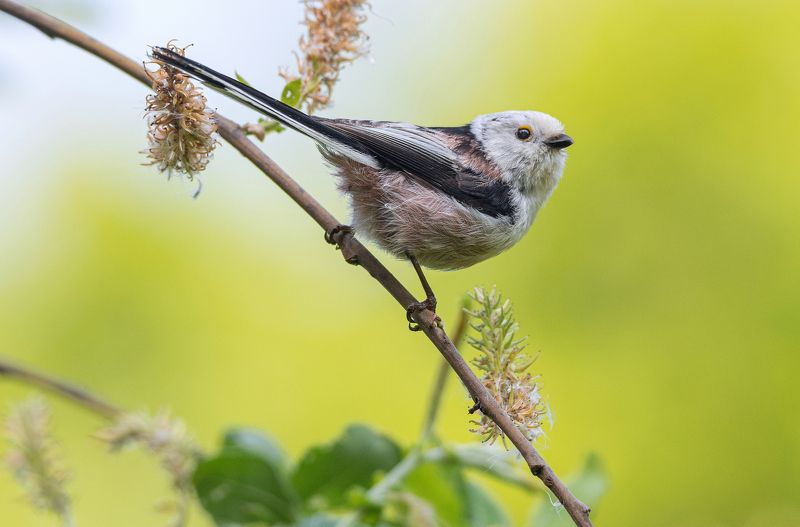 птица длиннохвостая синица ополовник Весенний ополовникphoto preview