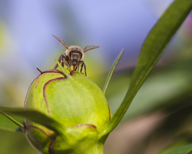 макро, природа, насекомые, пчелы, пион, бутон пиона, лето Сладкий сок пионаphoto preview