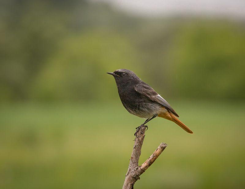 птицы, горихвостка, чернушка, wildlife, birds, лето, black redstart Горихвостка-чернушка, самецphoto preview