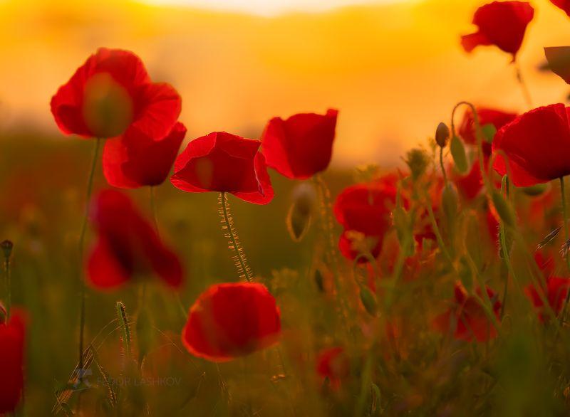 Цветы, цветок, мак, маки, Ставрополье, флора, цветущее, весна, лето, закат, на фоне, красный, оранжевый,  Маки на закатеphoto preview