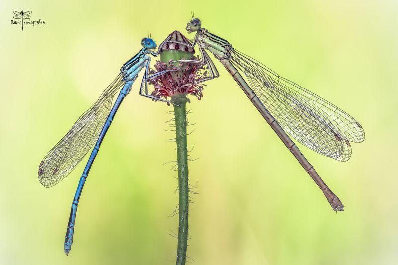 Platycnemis pennipes-Pióronóg zwykły.photo preview