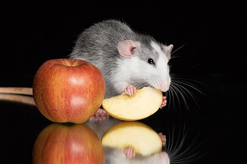 крыса, крыса дамбо, животные, грызуны Приятного аппетитаphoto preview