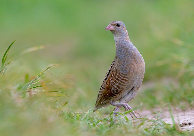 птицы,природа, лето Коростельphoto preview