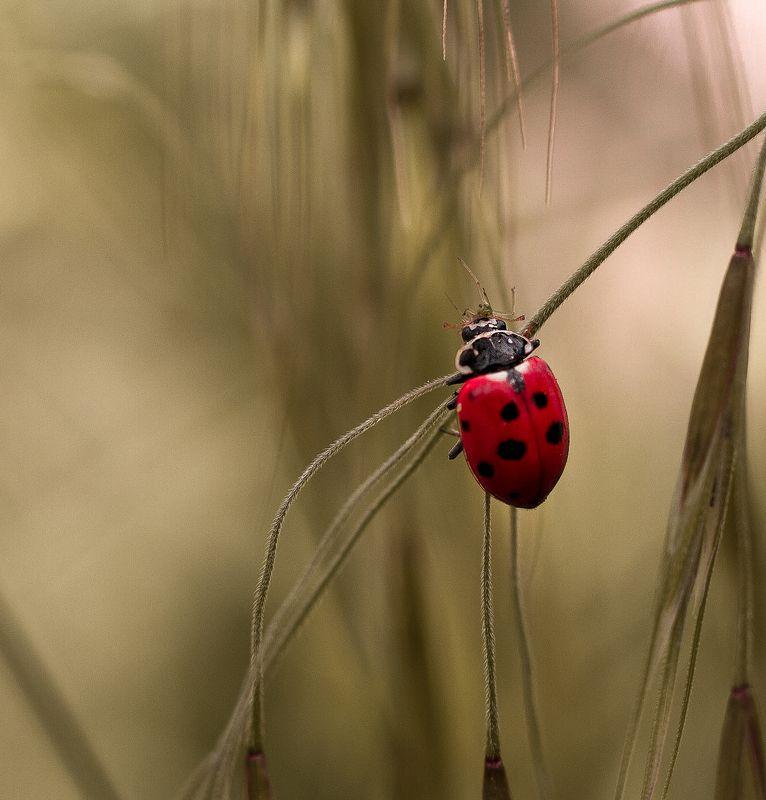 макро, природа, nature, macro, насекомые, insect, ladybug, божьякоровка  фото превью
