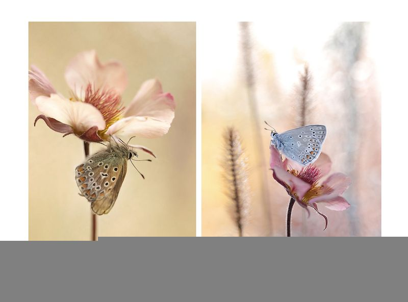 Polyommatus icarusphoto preview