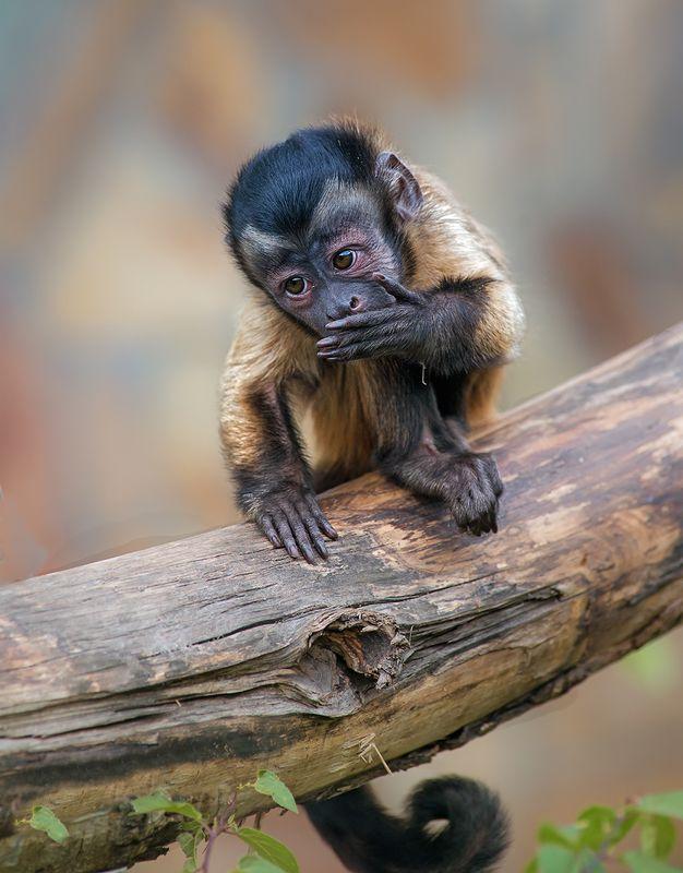 обезьяна Молчу, молчу...photo preview