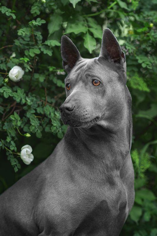 собака, животное, dog, тайский риджбек Портрет Юныphoto preview