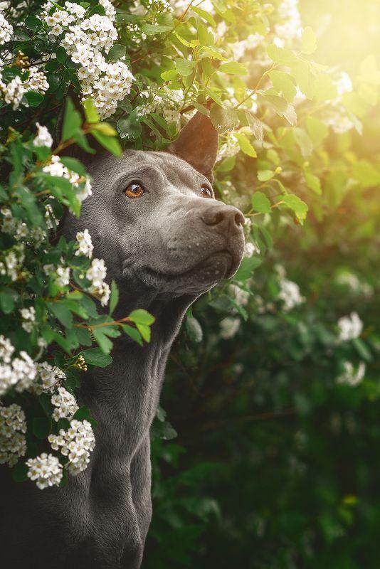 собака, животное, dog, тайский риджбек Настроение летоphoto preview