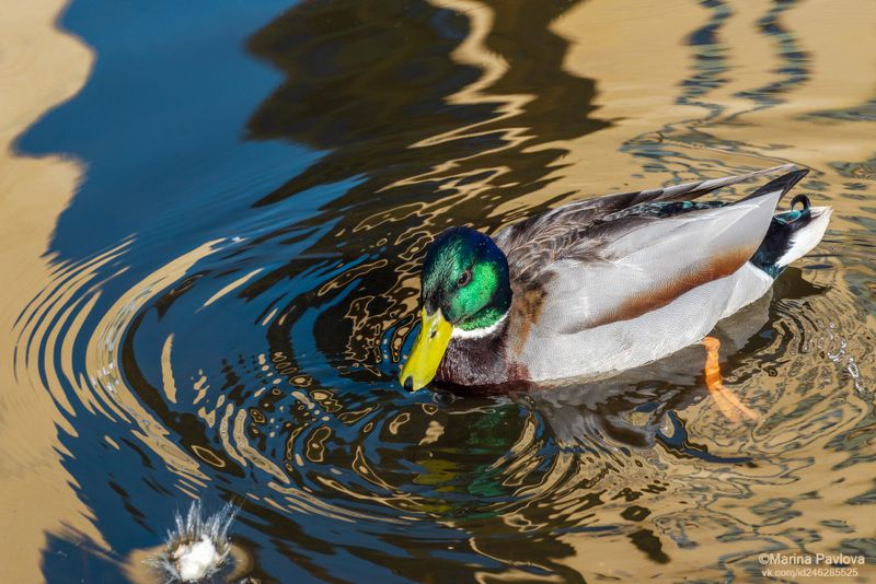 животные, животный мир, мир дикой природы, охрана природы, птицы, утки, селезень, водоплавающие птицы, лесопарк \\ Утиная историяphoto preview