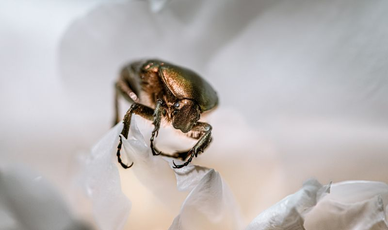 природа, макро, жук, бронзовка Старая бронзаphoto preview