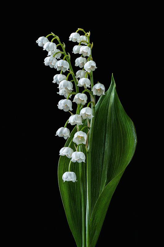 ландыш, ландыши, цветы, цветок, белый, флора, природа, лепестки, цвет, черный фон, минимализм Ландыш майскийphoto preview