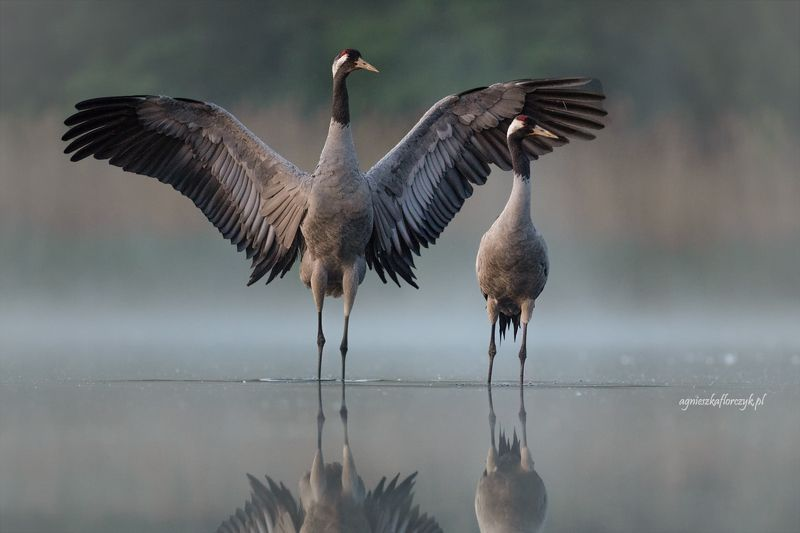 серый журавль, grus grus, crane, żuraw ***photo preview