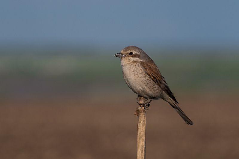 сорокопут, жулан, птицы, лето, birds, wildlife, red-backed shrike Обыкновенный жулан, самкаphoto preview