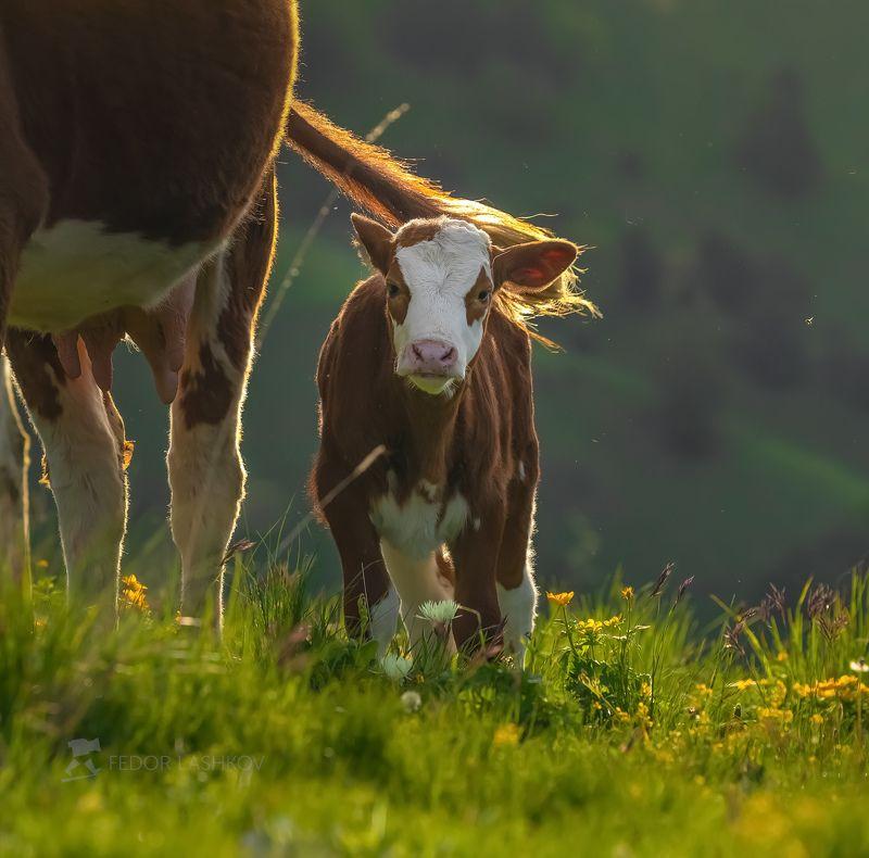 Северный Кавказ, горы, гора, Архыз, домашний скот, животные, коровы, корова, телёнок, весна, пастбище, луг, альпийские луга, рассвет,  Коровы на горных лугахphoto preview