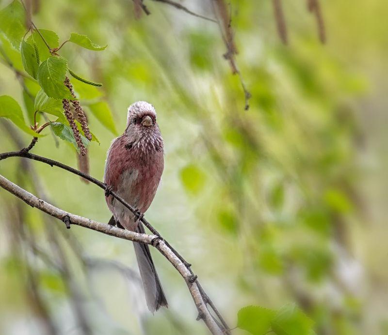 птица, урагус, самец, Урагус (самец).photo preview
