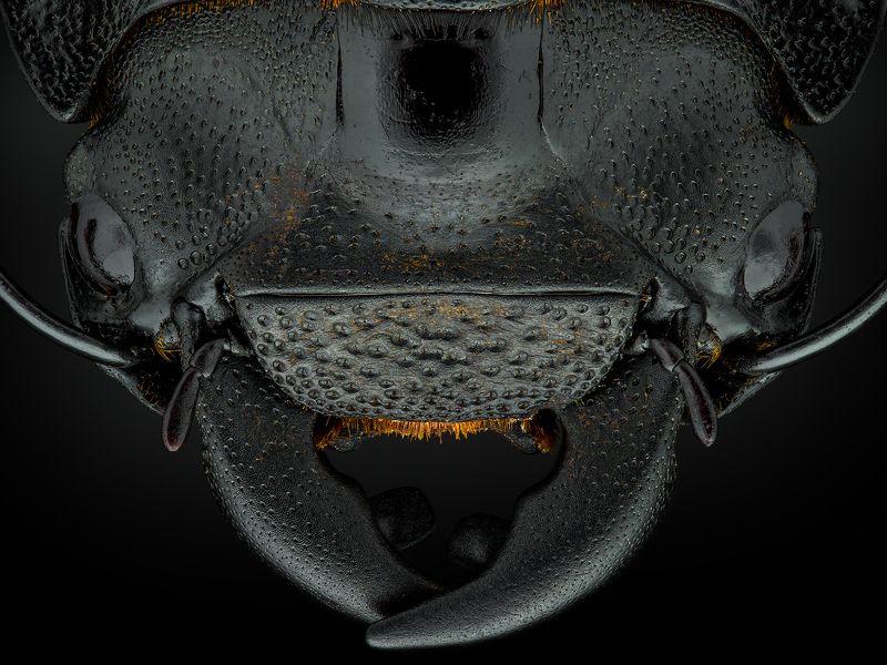 irass, waledzik, nat geo, olympus, close up, macro, extreme macro, макро Dorcus parallelipipedus.photo preview