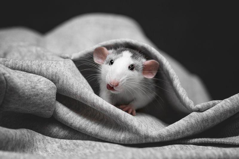 крыса, крыса дамбо, животные, грызуны Здрасьте!photo preview