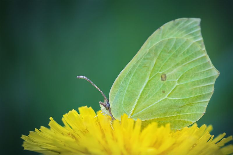 макро, бабочка, butterfly, macro, лимонница Лимонница на одуванчикеphoto preview