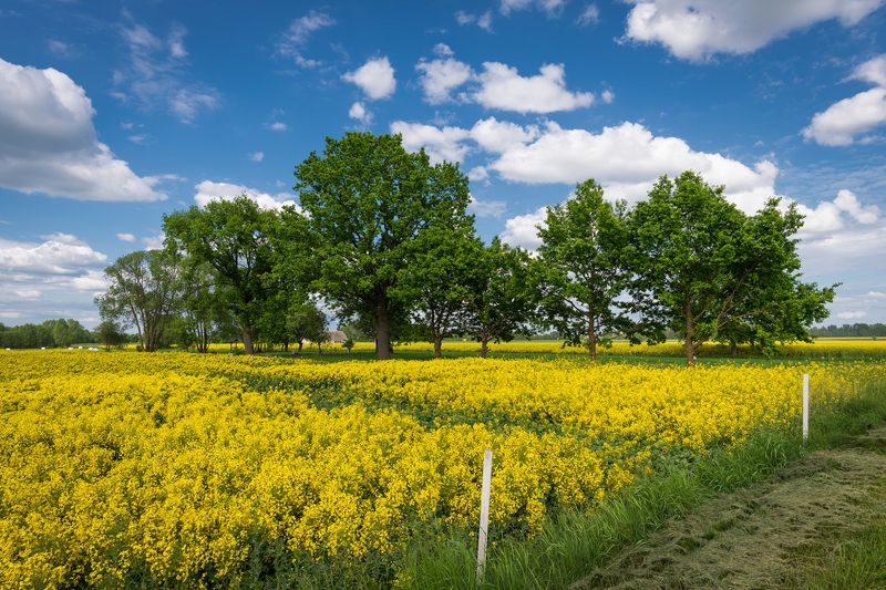 nature, landscape, colors, tree, clouds, colza, day Colzaphoto preview