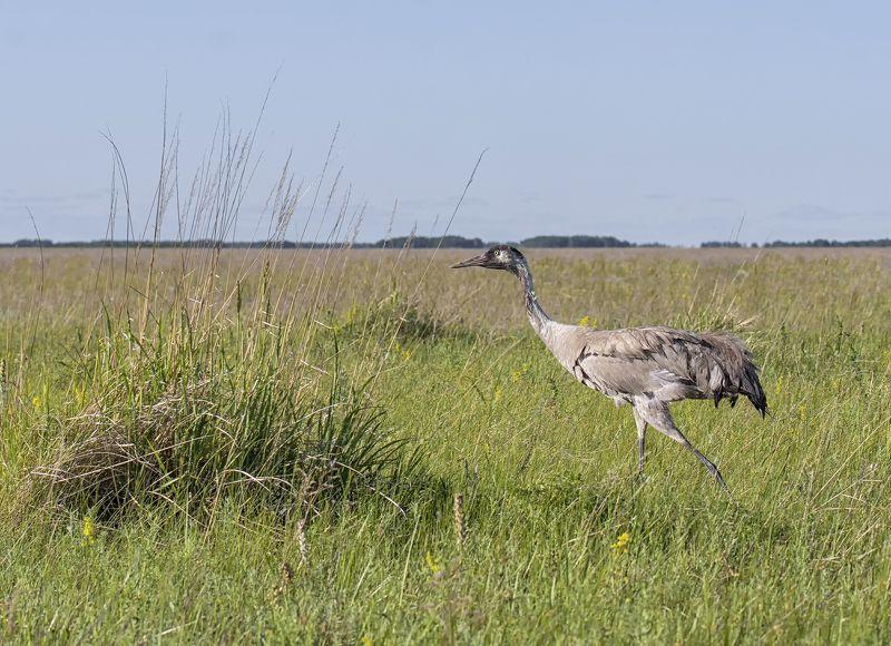 птица, серый журавль, степь, фотоохота, В степи..photo preview