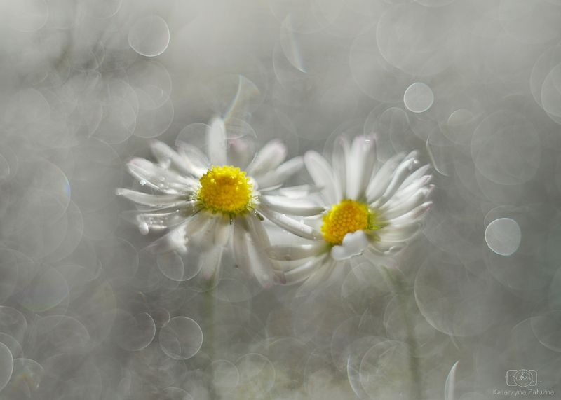 A ballet of daisy chicksphoto preview