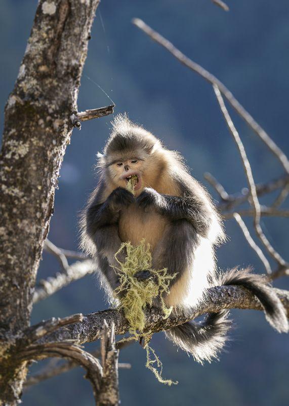 animal, monkeys, wildlife, nature, black snub-nosed monkey, Yummyphoto preview