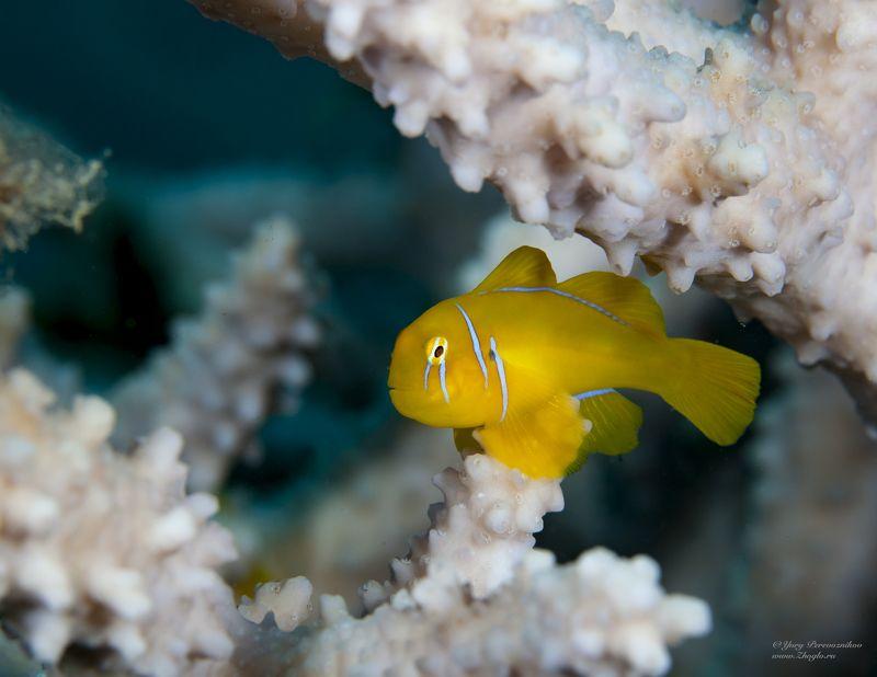подводное фото подводный мир хургада египет жогло zhoglo красное море Лимончик фото превью