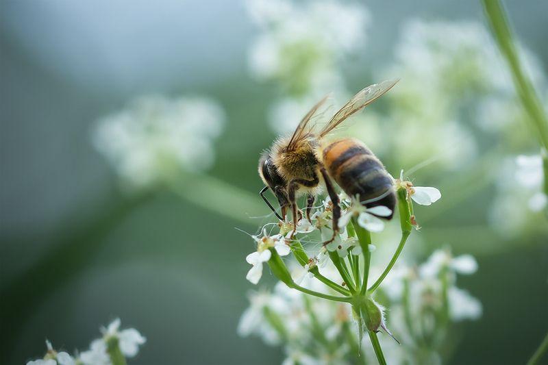 пчела, макро, macro, bee Летние работыphoto preview