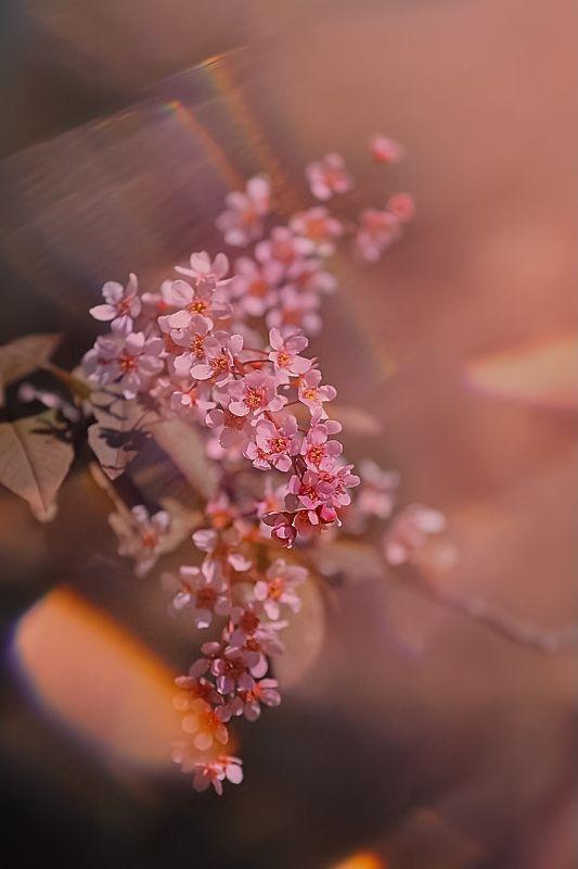 цветы, flowers, макро, macro Bird Cherryphoto preview